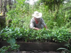 uusia taimia koulitaan kahviruosteen vaivaamien tilalle