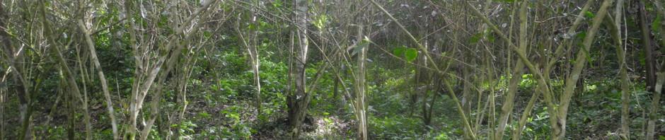 kahviruosteinen pensas pudottaa lehtensä eikä satoa saada
